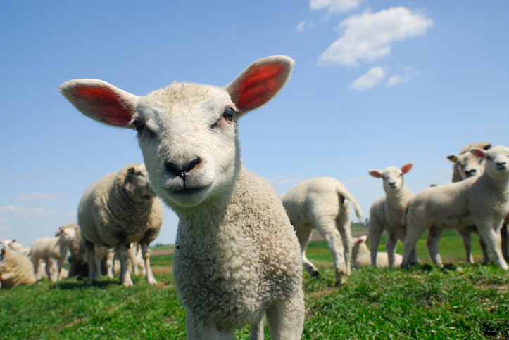 Sheep are roaming parks this spring